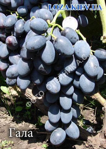 сорт винограда гала фото и описание