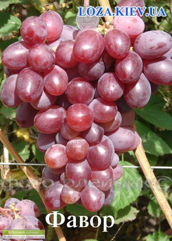 Виноград фавор описание сорта фото отзывы