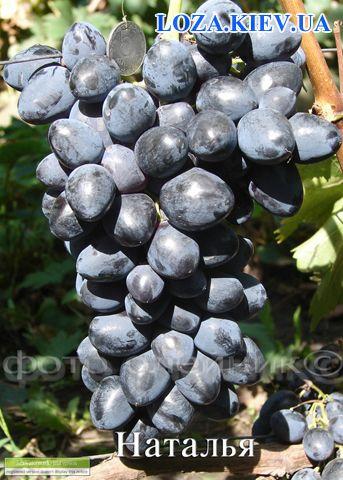 Наталья виноград сорт фото